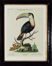 Edwards Toucan