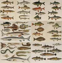 Fish lithographs