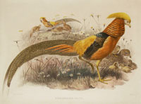 Elliot: Golden Pheasant